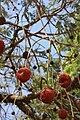 Parkia biglobosa MS 4398.jpg