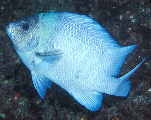 Kermadec Islands - The Kermadec scalyfin – part of the rich marine biota of the Kermadecs