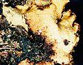 Parmotrema hypotropum-3.jpg