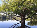 Parque Nacional Anavilhanas Floresta alagada.jpg