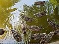 Patos no Vale dos Lagos, Parque da Pena em Sintra (36441283944).jpg