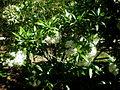 Pavetta lanceolata 1c.JPG
