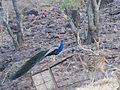 Peacock DSCN2618.jpg