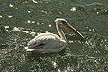 Pelican Point - Pélican Blanc 01.jpg