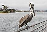 Pelican in Coronado.jpg