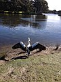 Pelican spreads its wings in the Centennial Park.JPG