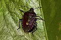 Percebella (Pentatomidae Dolycoris Baccarum), Santiago de Compostela.jpg