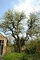 Perelaar in bloei op het domein Speelhoven te Aarschot - 369897 - onroerenderfgoed.jpg
