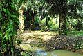 Perkebunan kelapa sawit milik rakyat (60).JPG