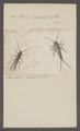 Perla - Print - Iconographia Zoologica - Special Collections University of Amsterdam - UBAINV0274 067 01 0002.tif