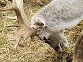 Persian Fallow Deer feeding 03.jpg