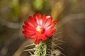 Peru - Cusco Sacred Valley & Incan Ruins 142 - cactus flower (7143447875).jpg