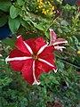 Petunia Flowers (2).jpg