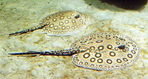 Description de l'image Pfauenaugen-Stechrochen - Ocellate river stingray - Potamotrygon motoro.jpg.