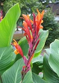 Pflanze-Cannaindica1-Asio