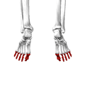 Phalanges of the foot08a inferior view.png