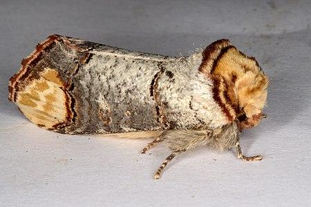 Phalera bucephala, Lodz(Poland)06(js).jpg