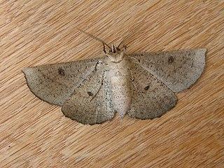 Oenochrominae Subfamily of moths