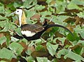 Pheasant tailed Jacana , Motemajra Pond , Punjab.jpg