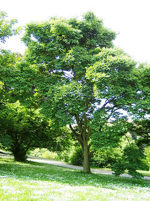 Phellodendron - Phellodendron japonicum