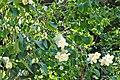 Philadelphus pubescens 01.jpg