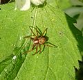 Philodromus sp. - Flickr - gailhampshire (1).jpg