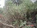 Phlomis fruticos.jpg
