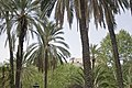 Phoenix dactylifera-Piazza Vittoria-jardin villa Romana.jpg