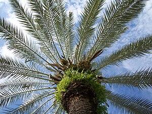 Phoenix (plant) - Date palm (Phoenix dactylifera)