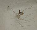 Pholcus phalangioides eating wasp 4.jpg