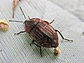 Phosphuga atrata (Silphidae sp.), Arnhem, the Netherlands.jpg