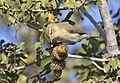Phylloscopus collybita - Common Chiffchaff, Adana 2016-11-27 02-2.jpg