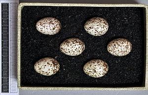 Wood warbler - Eggs, Collection Museum Wiesbaden