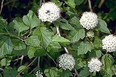 Physocarpus opulifolius USFWS.jpg