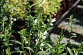 Physostegia virginiana Summer Snow 2zz.jpg