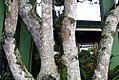 Phytolacca dioica 22zz.jpg
