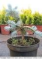 Picea pungens Hoopsii side grafting.jpg
