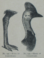 Picture Natural History - No 141 142 - Foot and Head of Cassowary.png