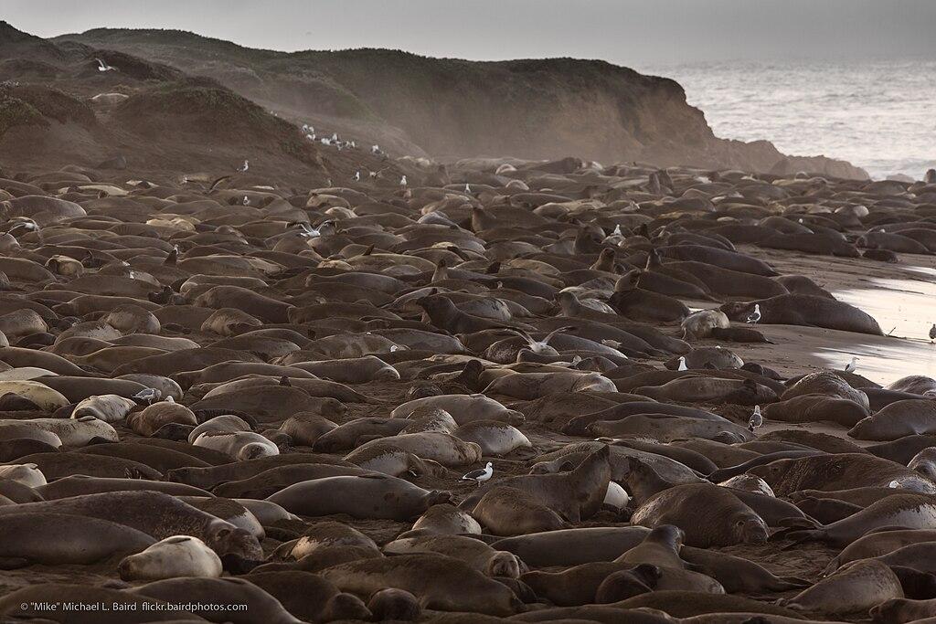 Piedras Blancas Elephant Seal rookery, Jan. 2013