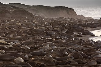 Piedras Blancas State Marine Reserve and Marine Conservation Area - Piedras Blancas Elephant Seal rookery, January 2013