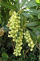 Pieris japonica kz01.jpg
