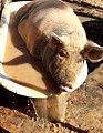 Pig having bath (8302190194).jpg
