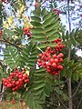 Pihlajan (Sorbus aucuparia) lehdet ja marjat.jpg