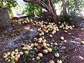 PikiWiki Israel 28889 the Pomegranate Season.jpg