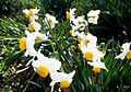 PikiWiki Israel 29267 Daffodils.jpg