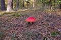 Pilz im Forst Rundshorn IMG Forst Rundshorn IMG 1766.jpg