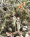 Pincushion cactus, Saguaro National Park (Tucson Mountain District), Arizona (82288103-83f9-4f2b-9a68-8126caaf7b01).jpg