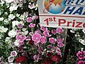 Pinks from Lalbagh flower show Aug 2013 8002.JPG