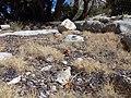 Pinus albicaulis (7888779154).jpg