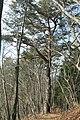 Pinus densiflora on Mount Tokura.jpg